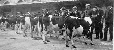 Les vaches pie-noir gabéricoises, marques du patrimoine ...